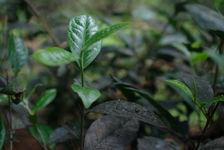 Cueillette des arbres anciens des Wang