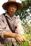 Monsieur Lee cueillant les feuilles de thé