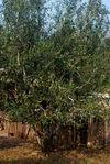 Grand arbre à thé agé à Ailao Shan
