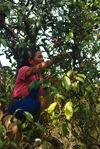 Dans un grand arbre à thé de Ailao Shan