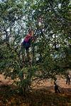 Cueillette des feuilles dans un grand arbre de Ailao Shan