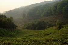 Different landscapes of tea bushes in Yi Wu